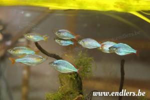 Regenboogvissen_5